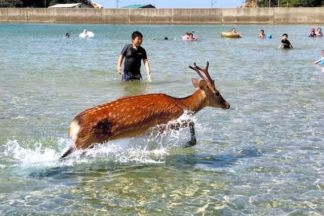 鹿突然出現在海水浴遊客面前並在海中漫步(圖/潮日本提供)