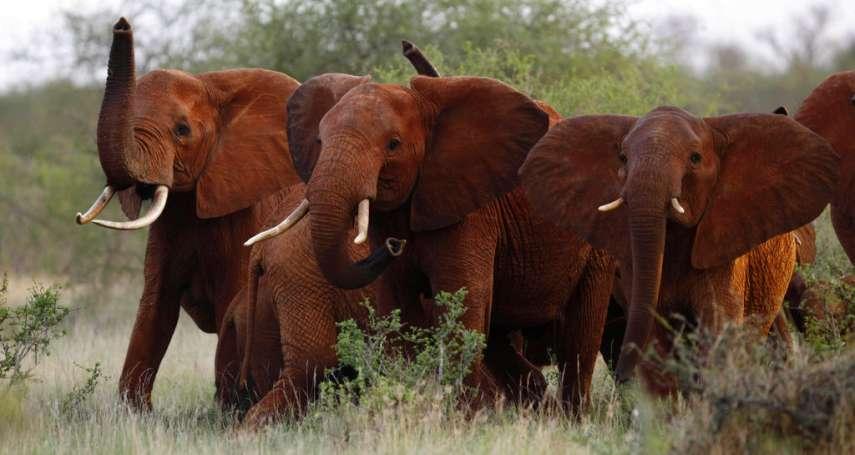 進口象牙救大象? 川普政府鬆綁禁令:獵象經濟效益有助於動物保育