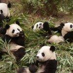 中國將送貓熊到高雄,您贊成或反對?