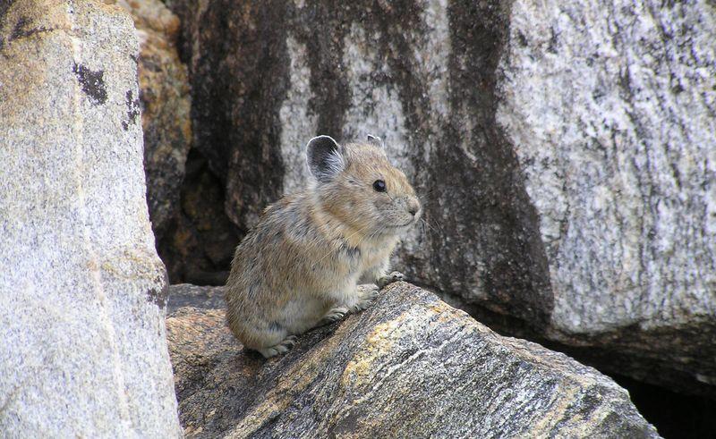 全球暖化引發的生物滅絕危機──鼠兔