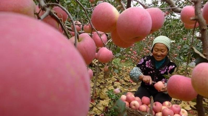 山東沂源蘋果園,曾以8888元人民幣拍出一顆重達520.8克的「蘋果王」。(取自齊魯網)