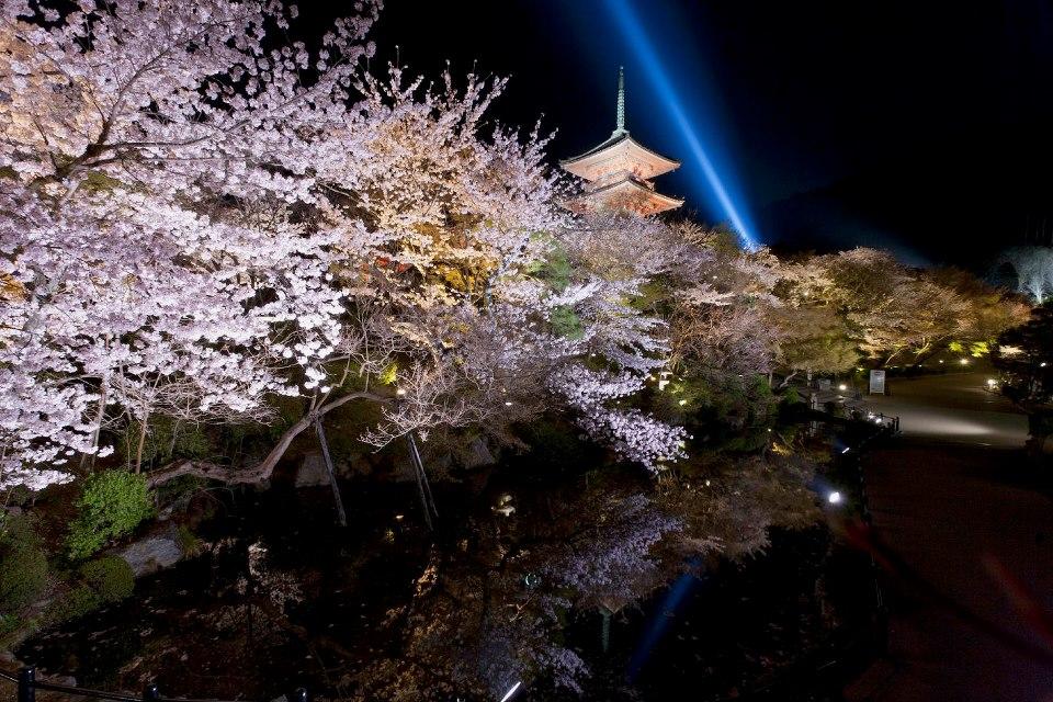 櫻花綻放的清水寺。(取自清水寺臉書)
