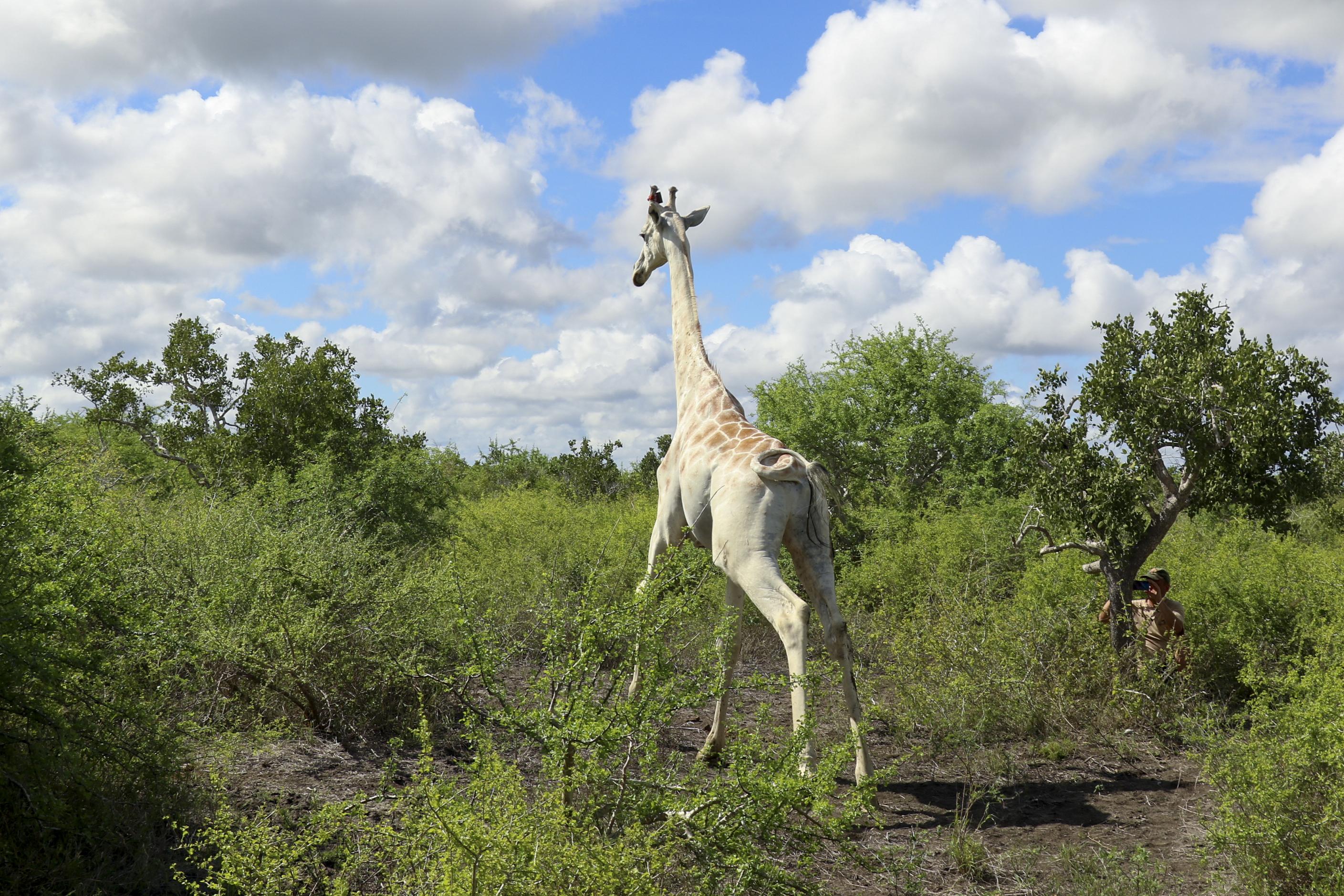 全球唯一的白長頸鹿現生活在肯亞伊沙格比尼牛羚自然保護區(AP)