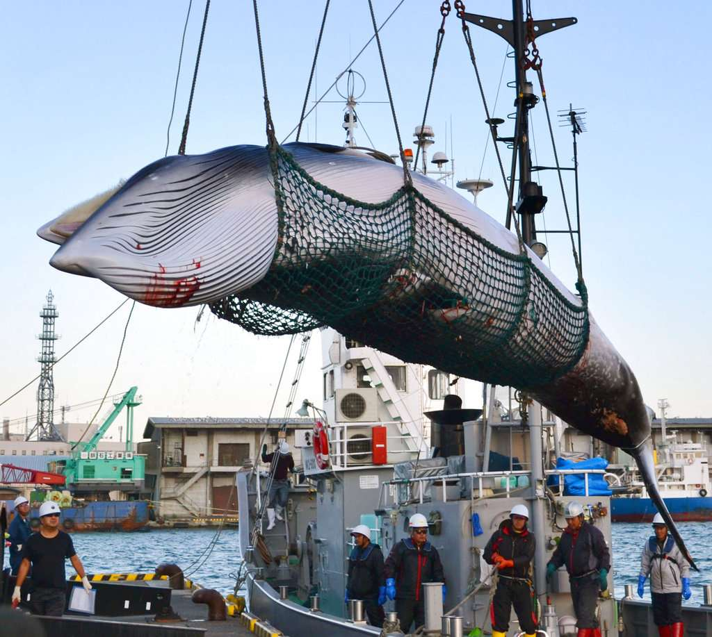 每年吃掉5千噸鯨魚肉!為何日本人對捕鯨這麼執著?從數千年前歷史揭開神秘「鯨魚文化」