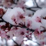 東京降下4月雪 民眾忙賞雪櫻花