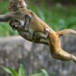 神聖獼猴亂咬纜線 印度網路建設傷腦筋