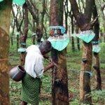 橡膠園排擠雨林 全球物種生態面臨「災難性毀滅」