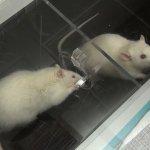 有效偵測結核病就靠老鼠 準確率幾乎100%