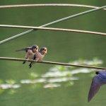 全球暖化影響 燕子越來越早歸來