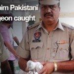 現代版飛鴿傳書? 印度逮捕巴基斯坦「間諜鴿」