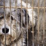 可以吃牛羊豬雞,為何不能吃狗?中國狗肉節每年吃掉1萬隻狗狗