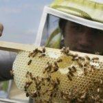 蜜蜂絕跡之謎有解?非洲野生蜜蜂成研究關鍵