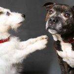 「別怕,我牽著你」鬥牛犬不離棄,自願擔任失明小白狗的導盲犬