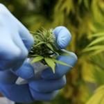 骨折新藥方 大麻成分促進骨頭癒合