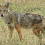 仔細看!他不是豺,是狼!研究者發現新物種:非洲黃金狼