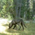 美國加州北部百年來首次出現狼群蹤影