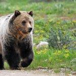 「滾滾熊」使出絕技下山!這隻灰熊下一秒做的事,讓200萬人直呼太可愛