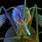 張冬凝觀點:臺灣的國鳥,叫做蚊子
