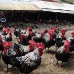 防流感 農委會規定「放山雞室內養」 張大春開砲:讓所有放山雞帶上口罩