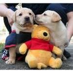 超療癒狗狗!關務署7隻「不適訓緝毒犬幼犬」開放認養