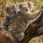 無尾熊面臨滅絕危機 澳洲專家建議捕殺披衣菌病熊