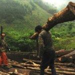 中國四川砍伐2萬畝天然林 貓熊棲息地破碎化