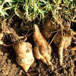 你知道怎麼挖出又大又美的地瓜嗎?一日農夫體驗,細細品味泥土的芬芳
