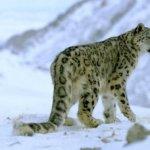 報告指雪豹面臨「新的氣候變化威脅」
