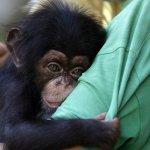 與人類有共同祖先、98.77%基因相同 美國府停止資助一切黑猩猩研究