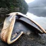 史上最大規模鯨魚擱淺 智利南部337頭瀕危塞鯨集體暴斃