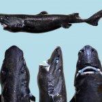 在深海中提燈籠的小小「忍者」科學家發現新品種鯊魚