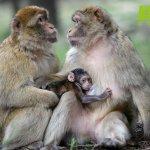 猴年猴腮雷!動物星球頻道 各國群猴迎猴年!