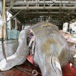 BBC:日本莫名的捕鯨情結從何而來?