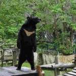 黑熊站起來!黑熊媽媽:人們餵食養成壞習慣