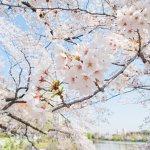 3月日本賞櫻去,各地花期有差異!最晚4月還能在北海道感受粉櫻氣息…