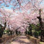 最寧靜、舒適的賞櫻地點竟在「墓地」?東京在地人低調推薦5個賞櫻好去處!