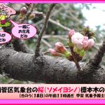 日本賞櫻季》福岡、名古屋春櫻早探頭 一周後全國陸續盛開