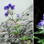 越美就越致命!台灣高山沿路綻放的豔紫色花朵,有個「一箭封喉」傳說…