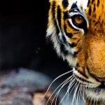 好消息!全球野生老虎數量近百年來首次成長