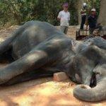 柬埔寨大象暴斃 公眾聯署要求禁止騎象