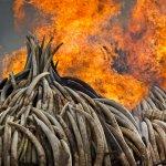 來自8000頭大象的105噸象牙 肯亞付之一炬 宣示杜絕象牙交易