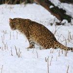 生態悲歌 豹類全球失去75%習慣棲地