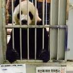 熊貓「團團」活得好好的 中媒為報導死亡假消息道歉