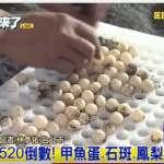 杜宇觀點:甲魚的蛋蛋憂傷