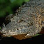 尼羅河食人鱷魚 美國佛州現蹤