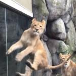 獅子也會玩逗貓棒嗎?美國動保員自製超大型玩具,超瘋狂實驗影片笑到崩潰