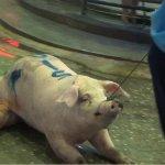 「小豬運送擠壓暴斃,到市場還要被電擊毆打」殘酷的豬隻活體拍賣待廢除