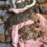 動物悲歌》泰國寺廟淪為老虎墳場 驚見40頭幼虎屍體