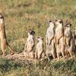 比電影更真實的南非超萌動物紀實!狐獴家族的日常讓人直呼太感動啦