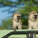 為何老闆不讓你知道同事薪水?科學家對這兩隻猴子做實驗,一針見血戳破現實啊